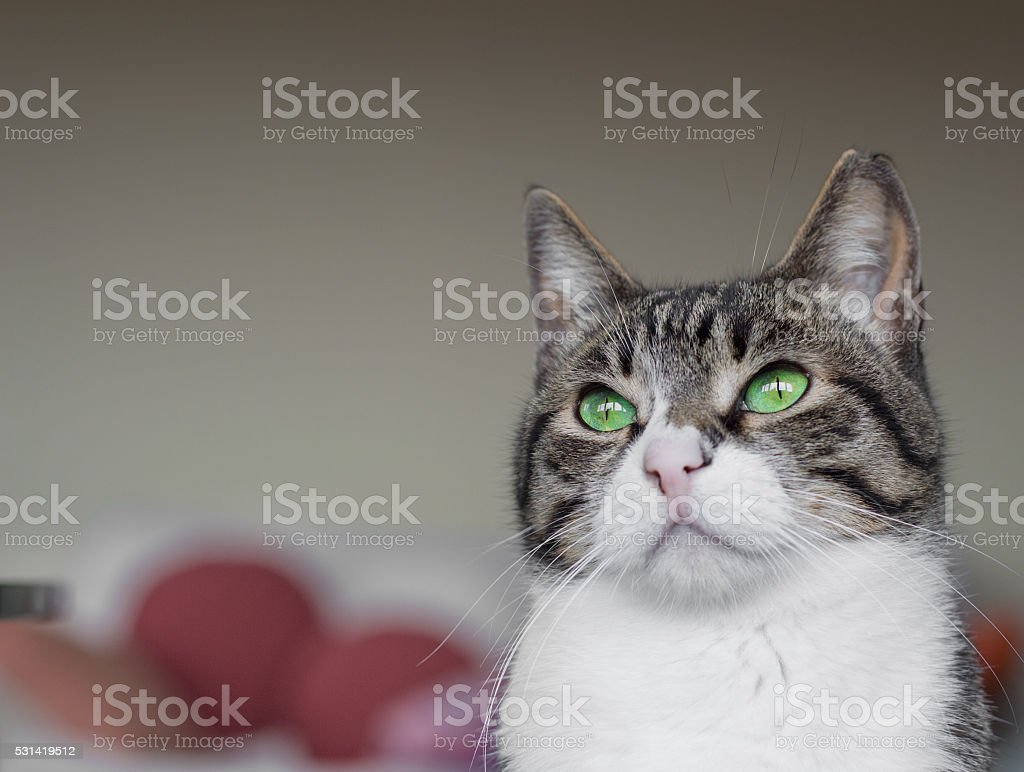 Portrait of a domestic cat with green eyes stock photo