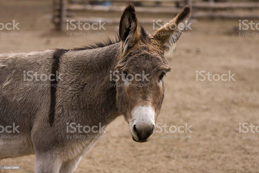 Portrait of a Donkey royalty-free stock photo