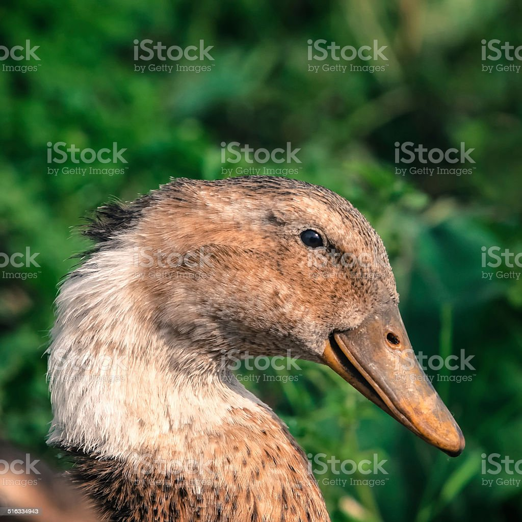 Portrait of a duck royalty-free stock photo