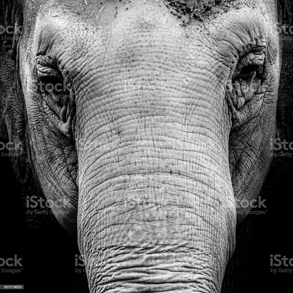Portrait of a elephant in black and white stock photo