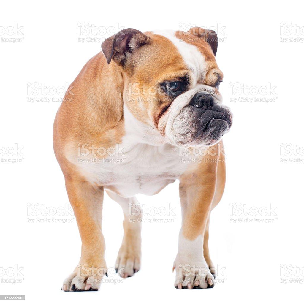 Portrait of a English Bulldog royalty-free stock photo