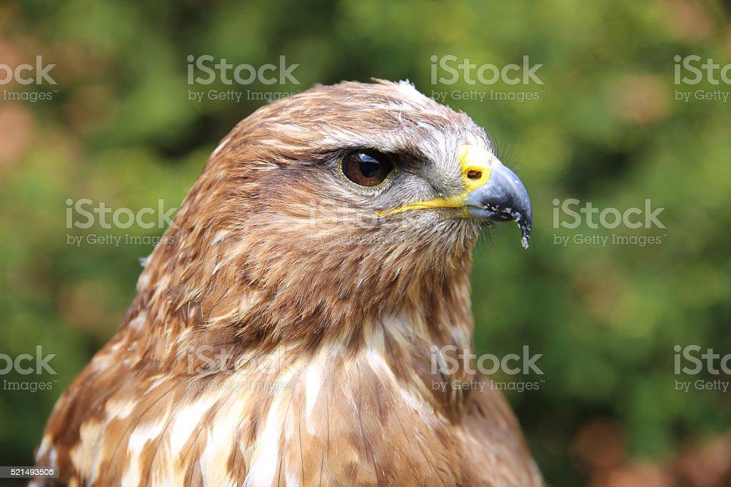 Portrait of a european common buzzard buteo buteo stock photo