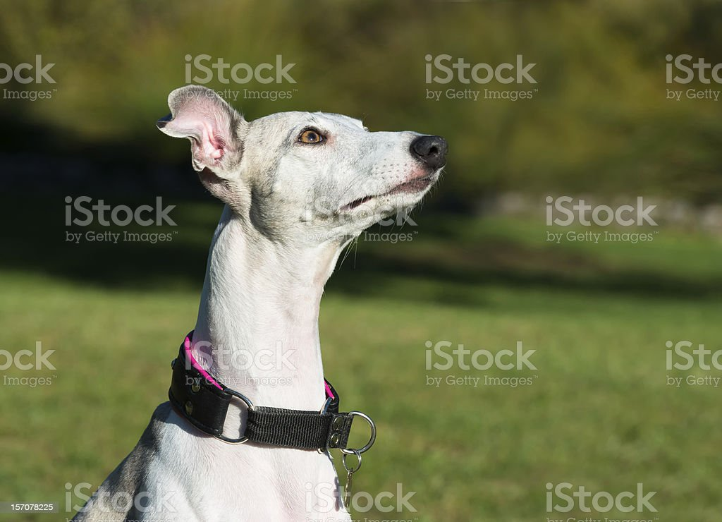 Portrait of a femail whippet dog royalty-free stock photo