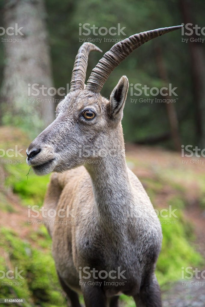 Portrait of a female alpine ibex or bouquetin stock photo