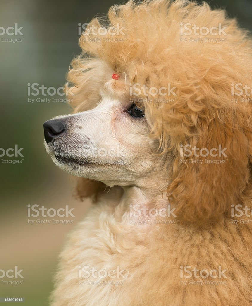 Portrait of a female apricot poodle dog royalty-free stock photo