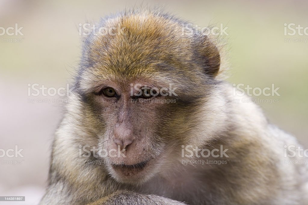 Portrait of a female barbary ape stock photo