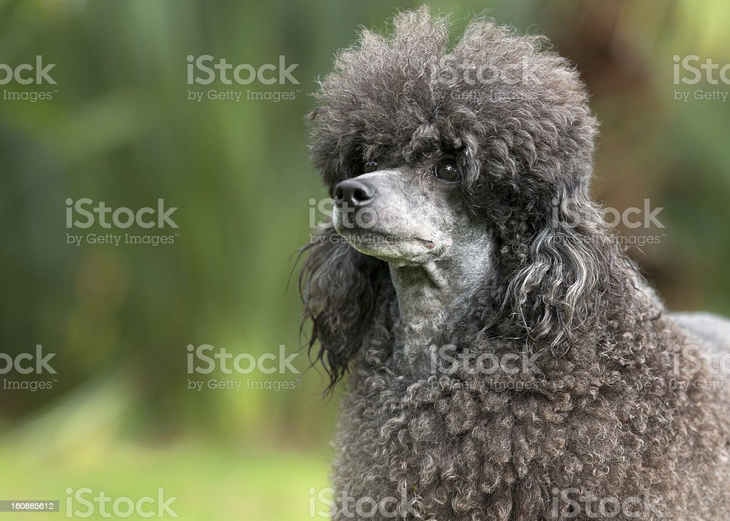 Portrait of a female black poodle dog royalty-free stock photo