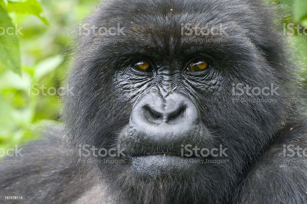 Portrait of a  female mountain gorilla stock photo