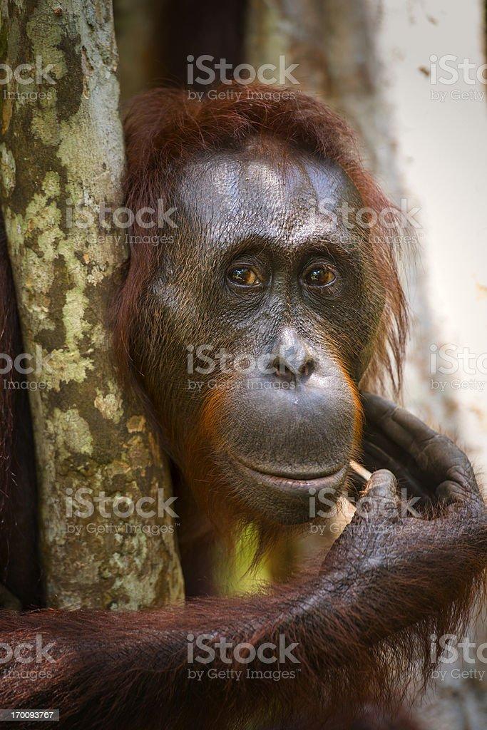 Portrait of a female Orang Utan, wildlife shot royalty-free stock photo