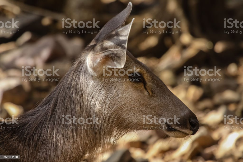 Portrait of a female Sambar deer in the forest stock photo
