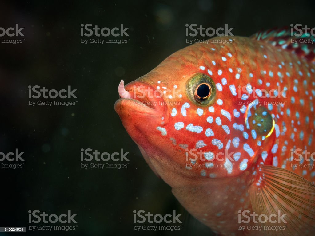 Portrait of a fish with a worm in his mouth stock photo