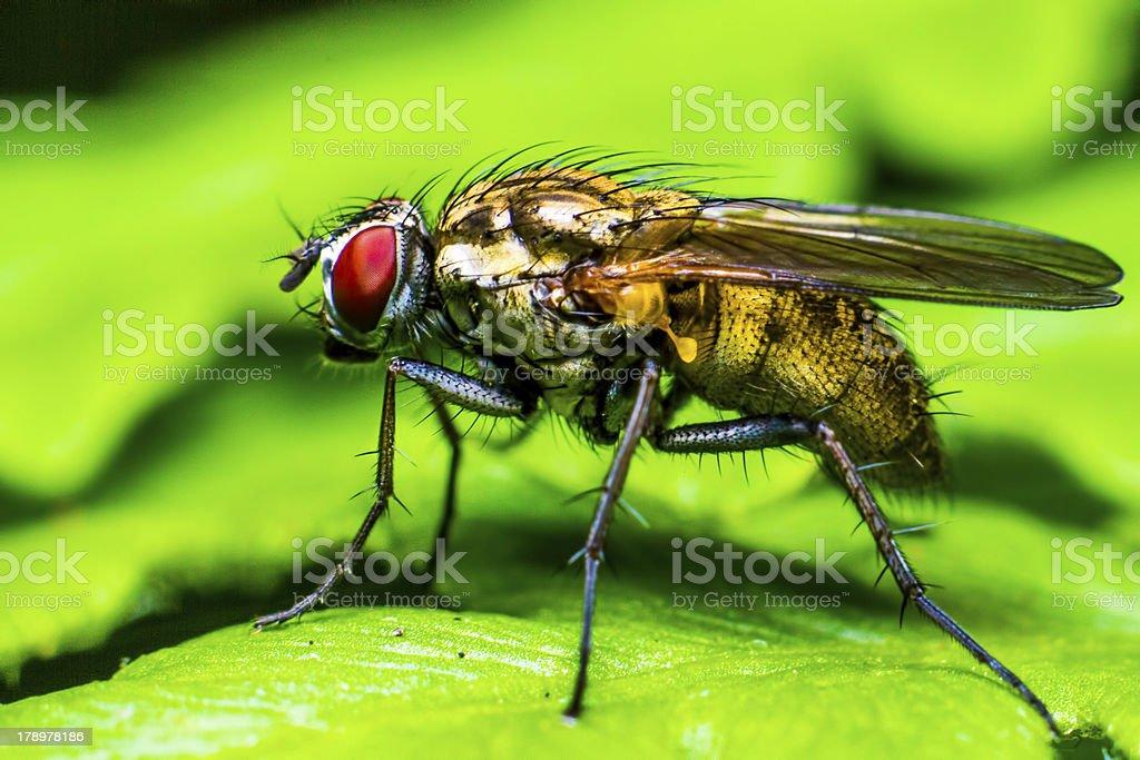 Portrait of a fly (Brachycera) royalty-free stock photo