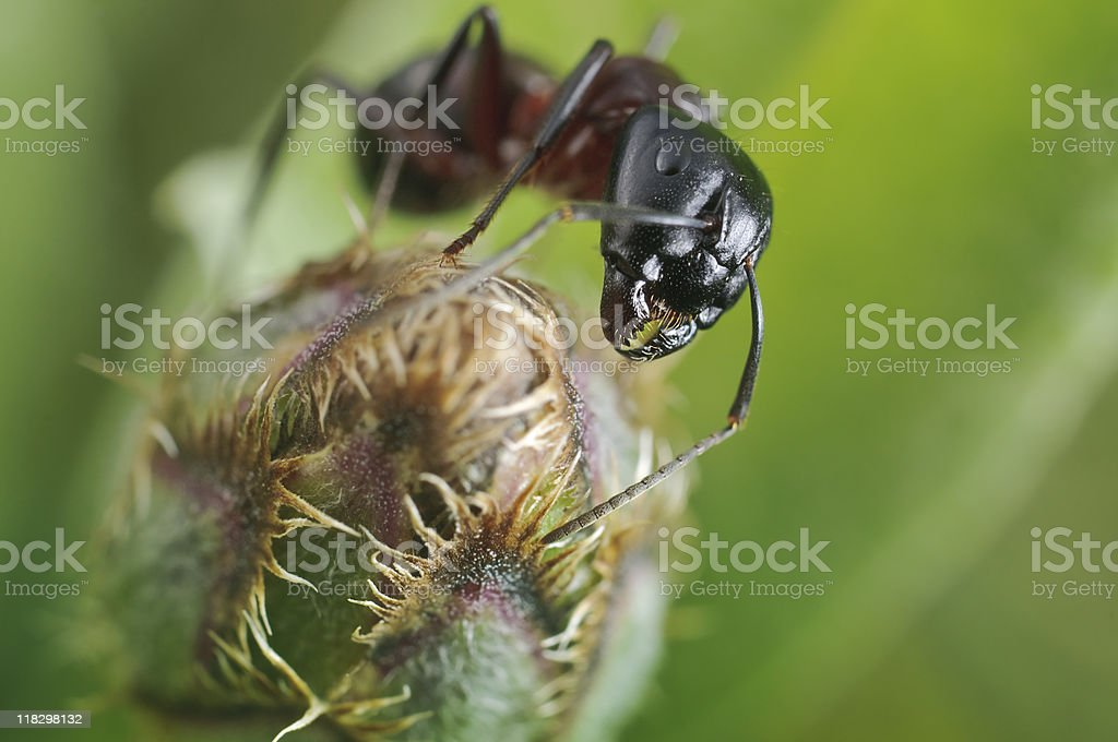 Portrait of a forest ant royalty-free stock photo