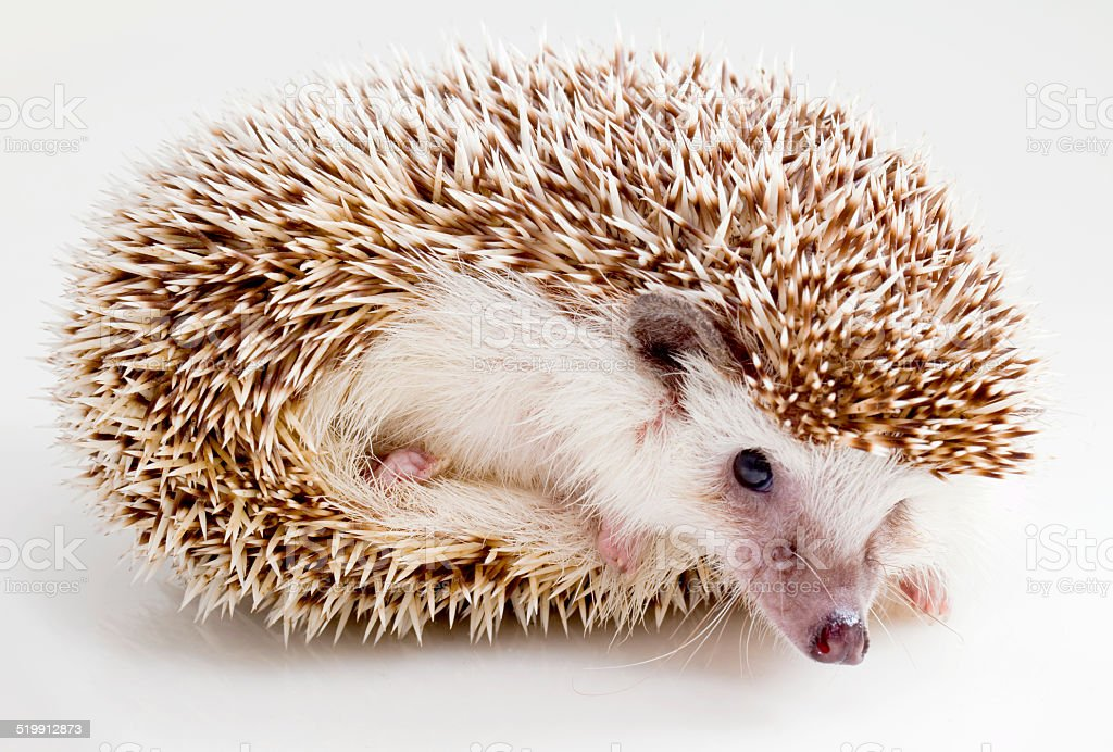Portrait of a Four-Toed Hedgehog on a white background stock photo