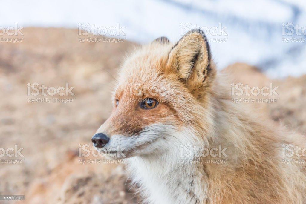 Portrait of a fox stock photo