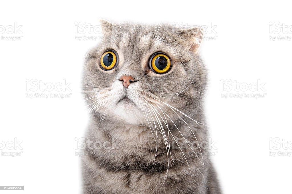 Portrait of a frightened cat closeup. Breed Scottish Fold. stock photo