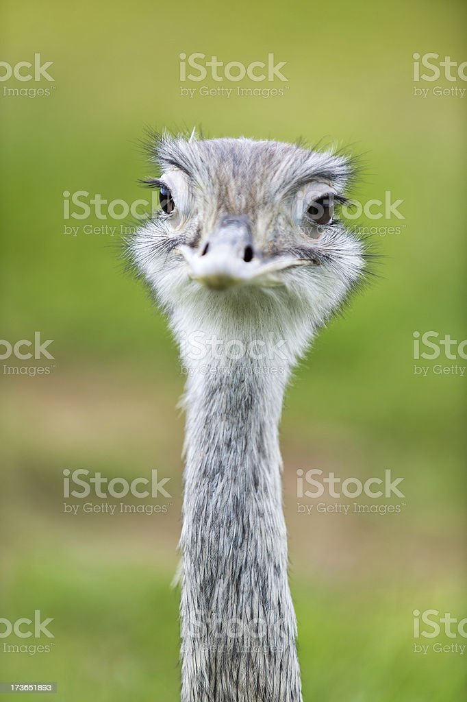 Portrait of a funny looking ostrich stock photo