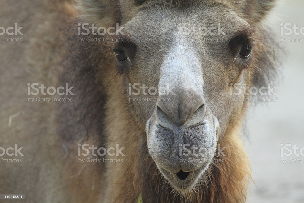 portrait of a funny two-humped camel stock photo