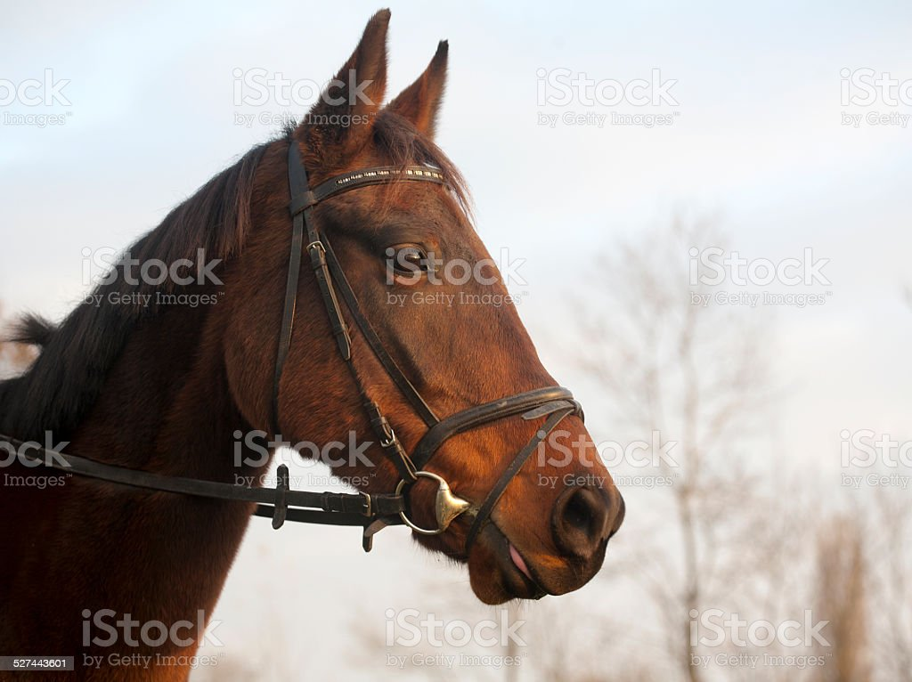 Portrait of a Furioso North Star breed bay horse stock photo