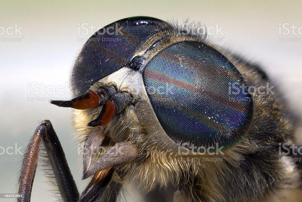 Portrait of a gadfly stock photo