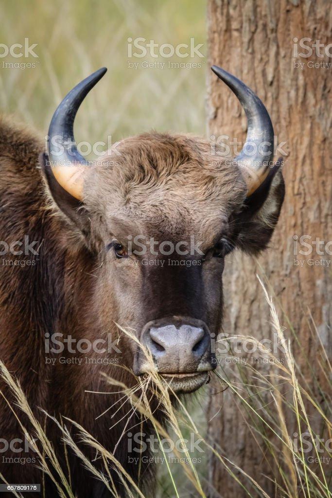 Portrait of a Gaur, stock photo
