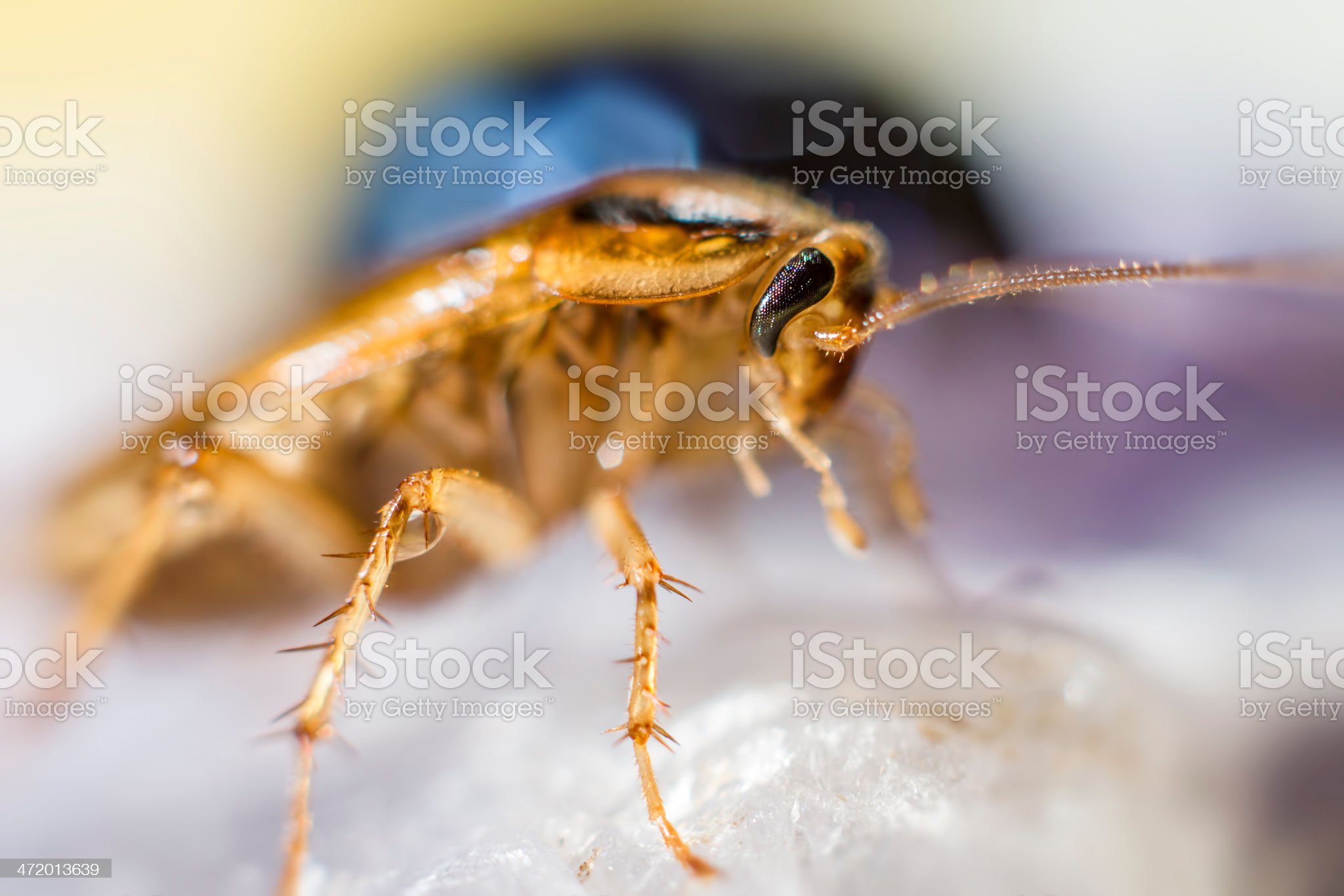 Portrait of a German cockroach  (Blattella germanica royalty-free stock photo