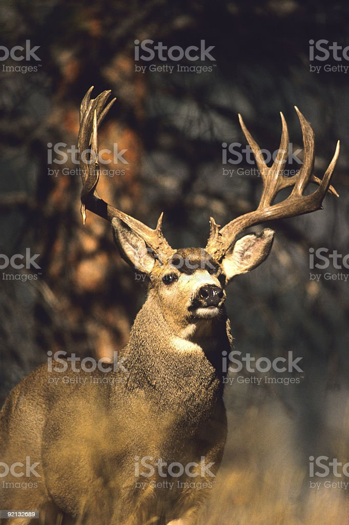 Portrait of a Giant Mule Deer stock photo