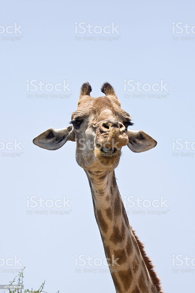 portrait of a giraffe at Kruger, South Africa stock photo