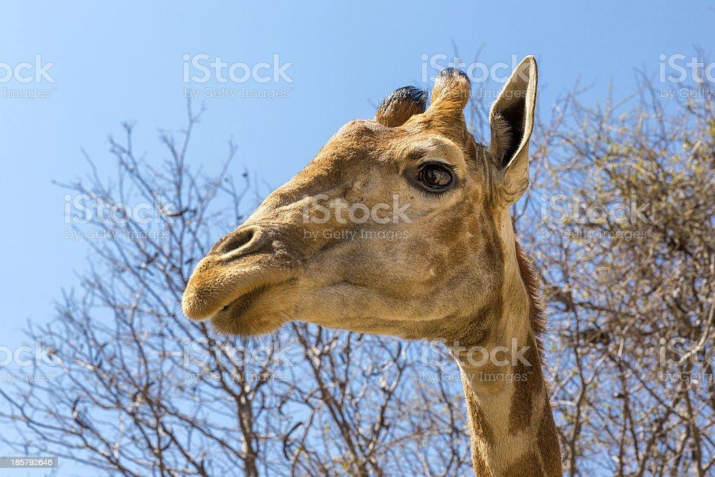 Portrait of a giraffe royalty-free stock photo