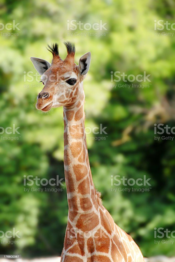 A portrait of a giraffe with green trees behind royalty-free stock photo