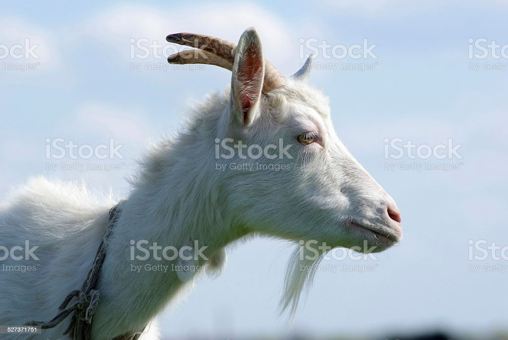 Portrait of a goat in the profile stock photo