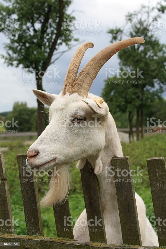 Portrait of a goat royalty-free stock photo
