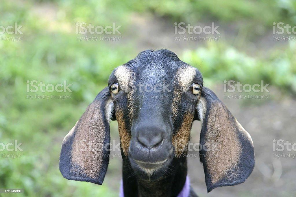 Portrait of a Goat stock photo