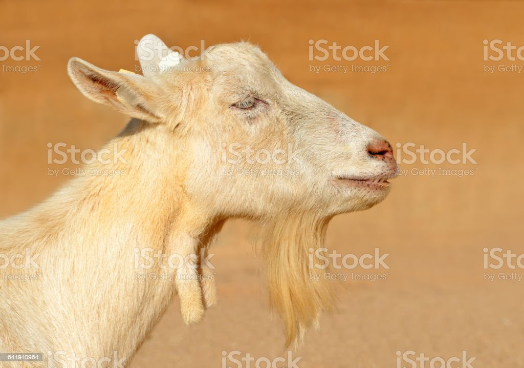 Portrait of a goat. stock photo