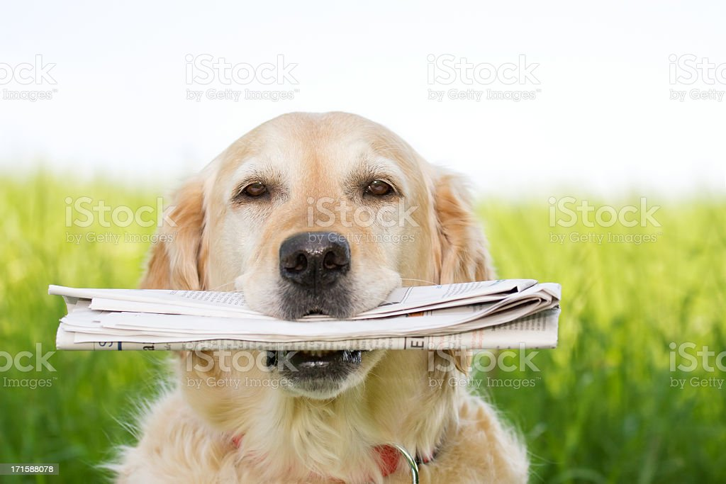 Portrait of a golden retriever holding a paper in its mouth royalty-free stock photo