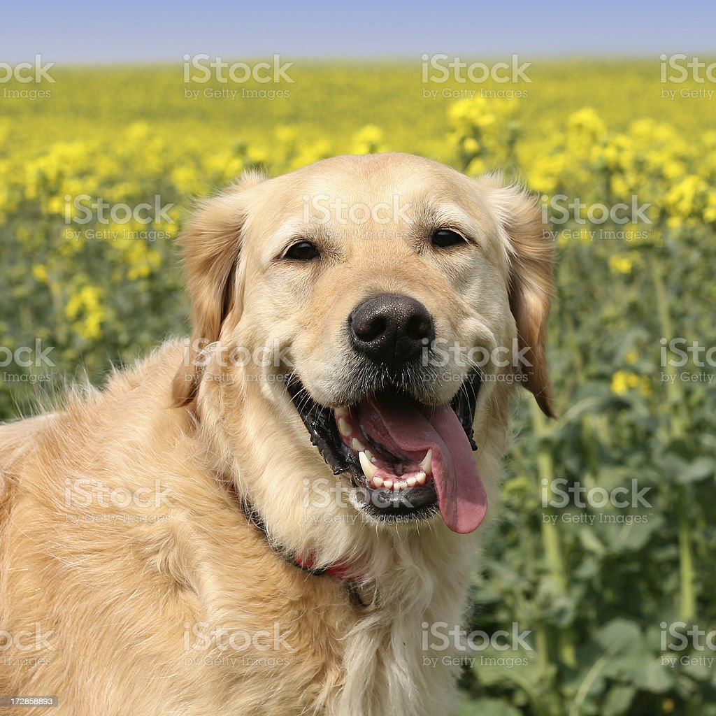 Portrait of a golden retriever smiling in a field royalty-free stock photo