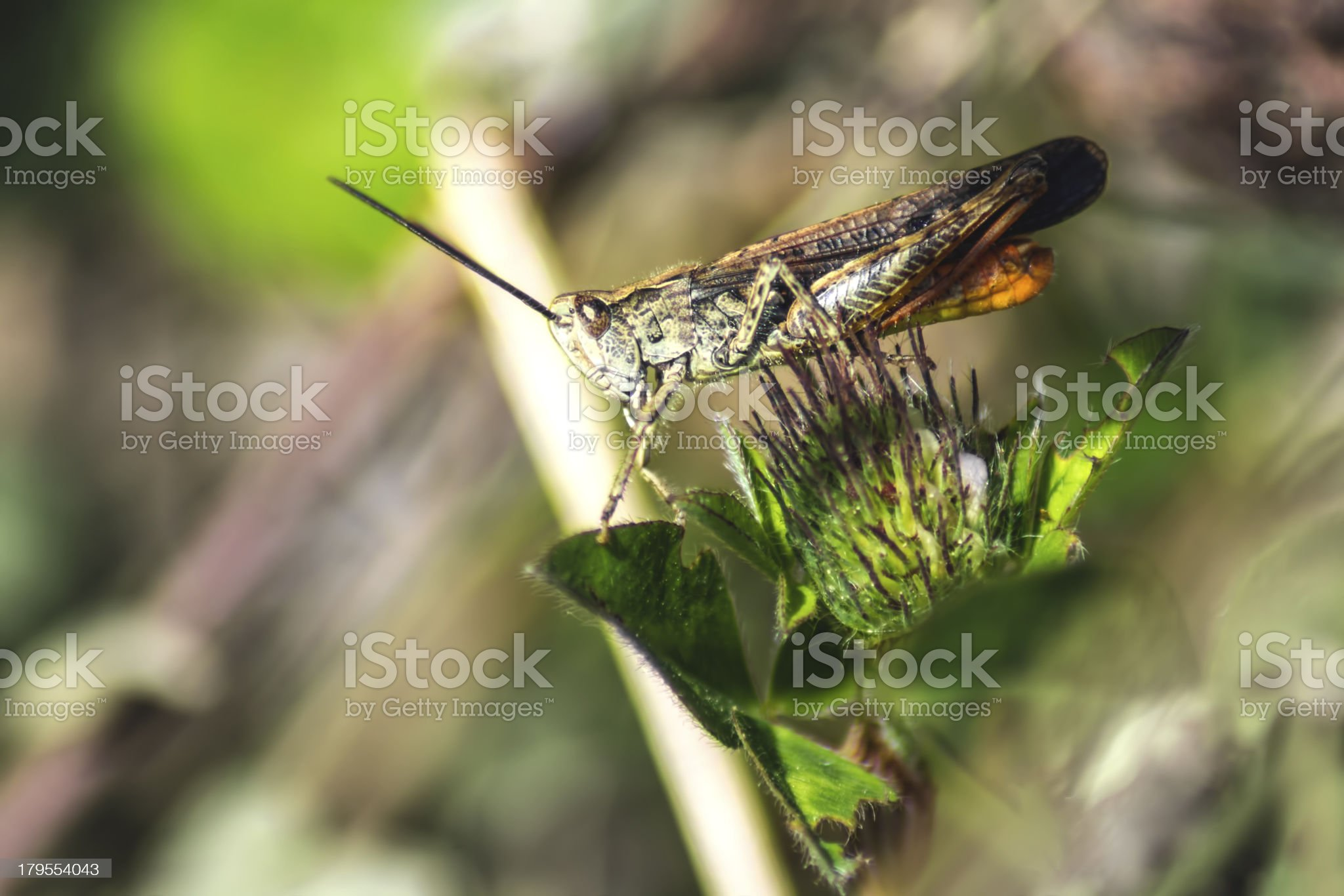Portrait of a grasshopper royalty-free stock photo