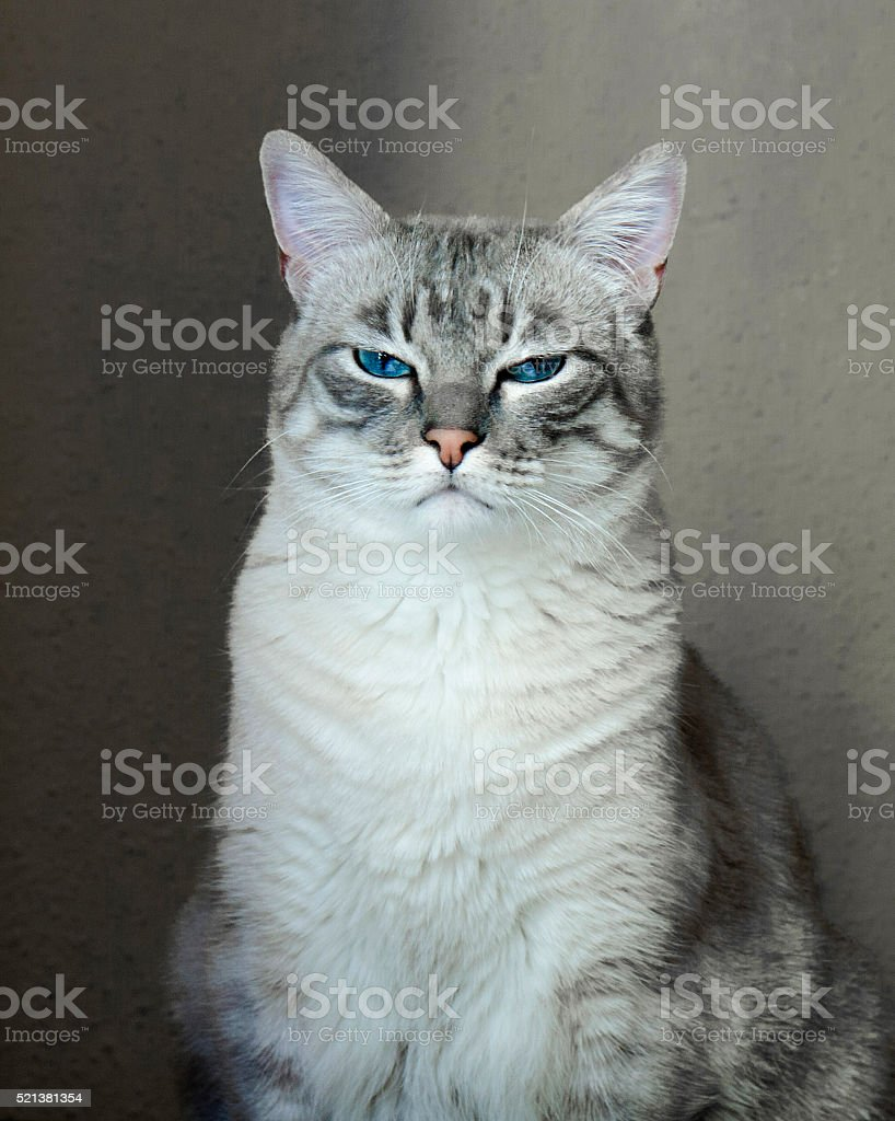 Portrait of a gray cat with blue eyes. stock photo