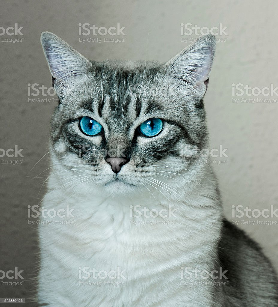 Portrait of a gray cat with blue eyes stock photo