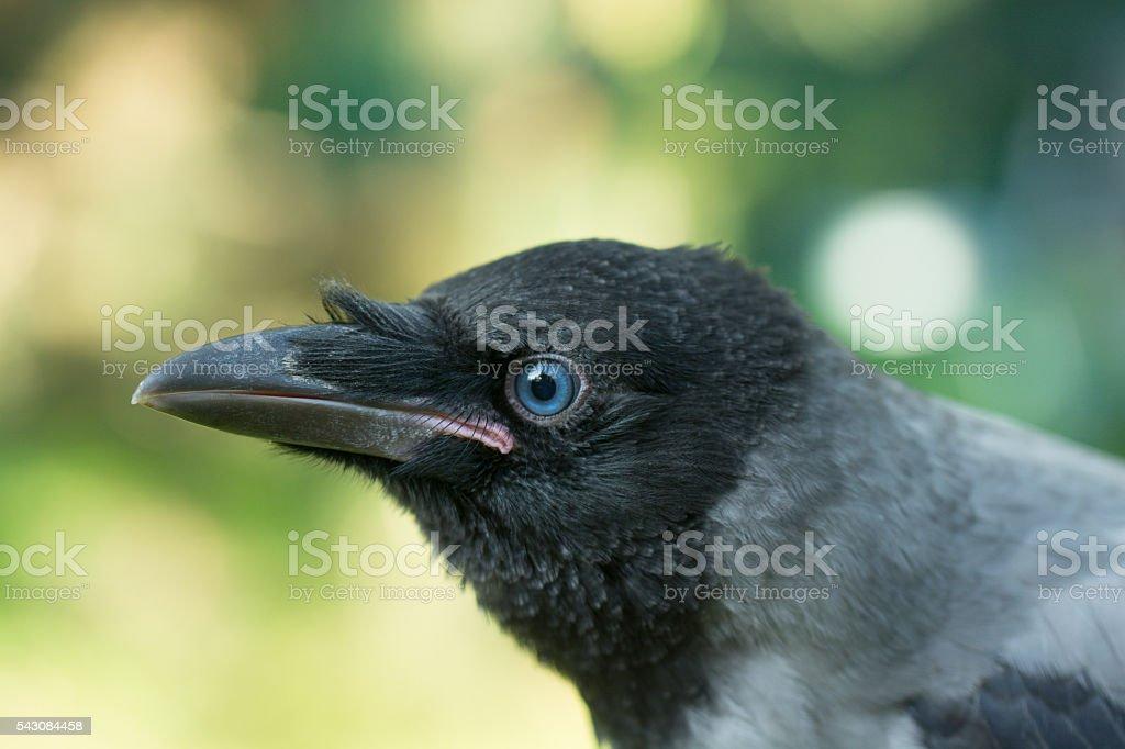 Portrait of a gray crow. stock photo