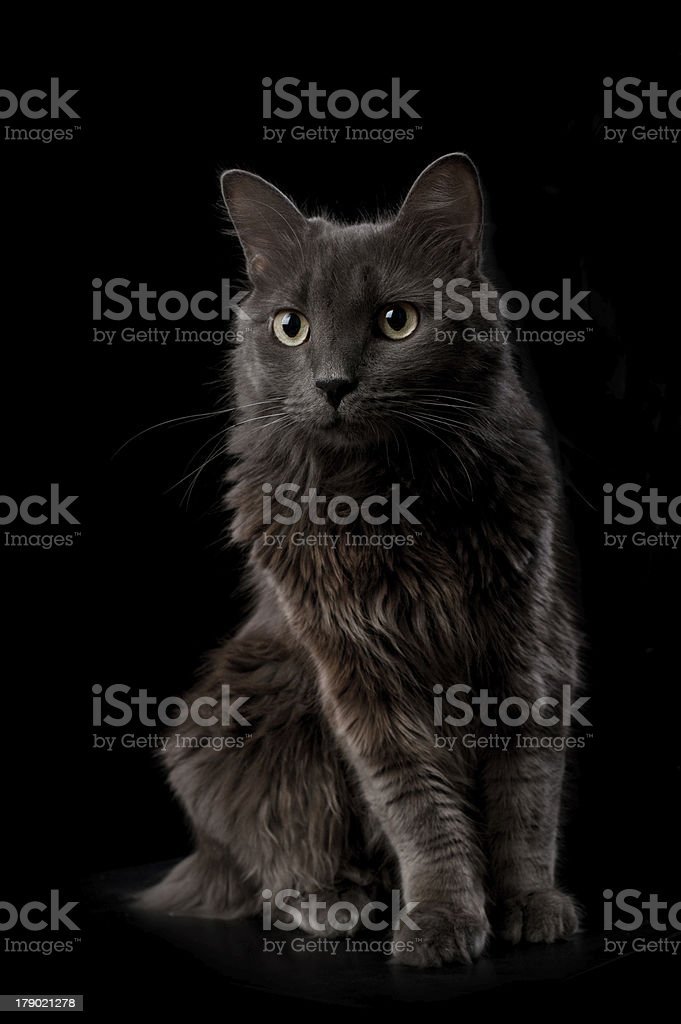 Portrait of a Gray Nebelung Cat royalty-free stock photo