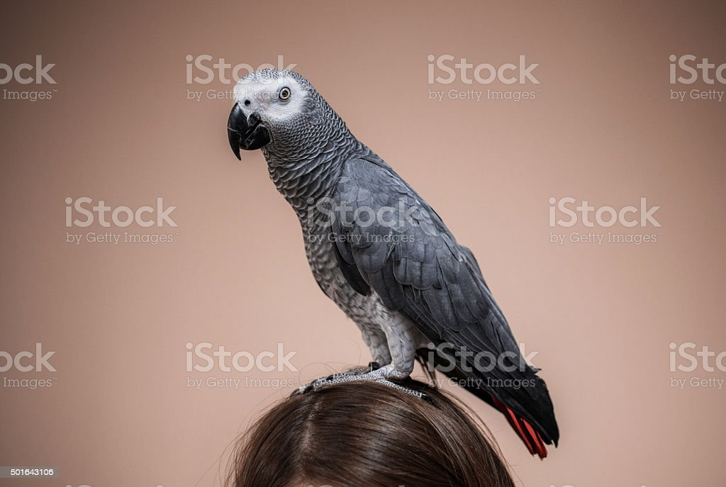 Portrait of a gray parrot on human head. stock photo