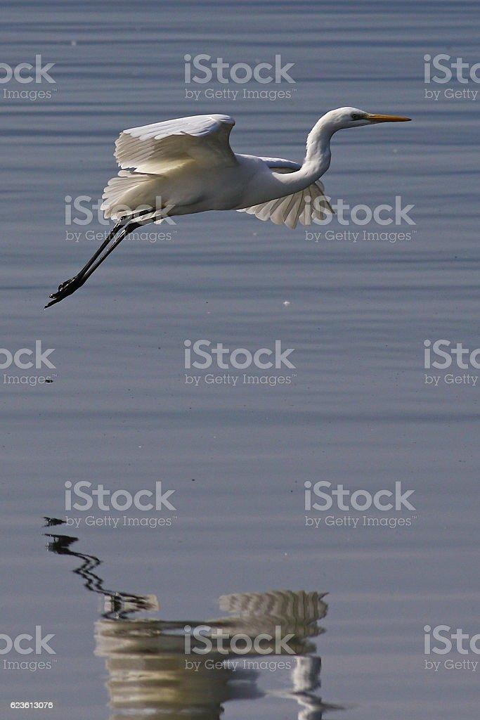 Portrait of a great egret, egretta alba,in flight stock photo