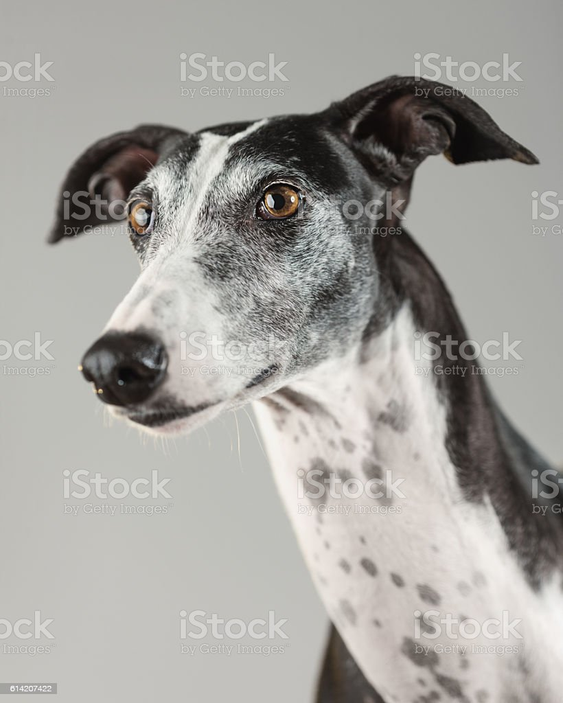 Portrait of a greyhound dog stock photo