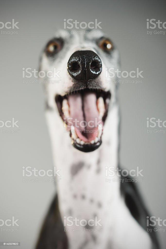 Portrait of a greyhound dog stock photo