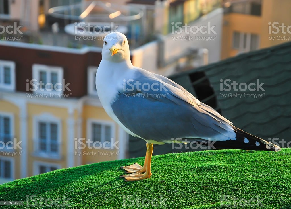 Portrait of a gull looking in the lens stock photo
