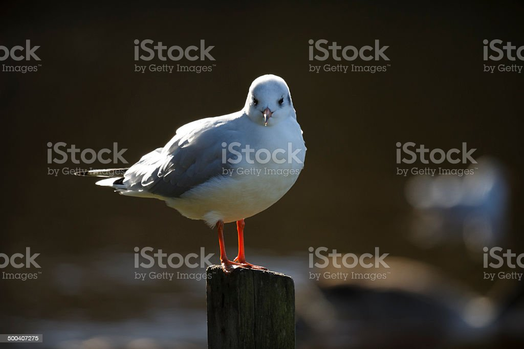 Portrait of a Gull stock photo