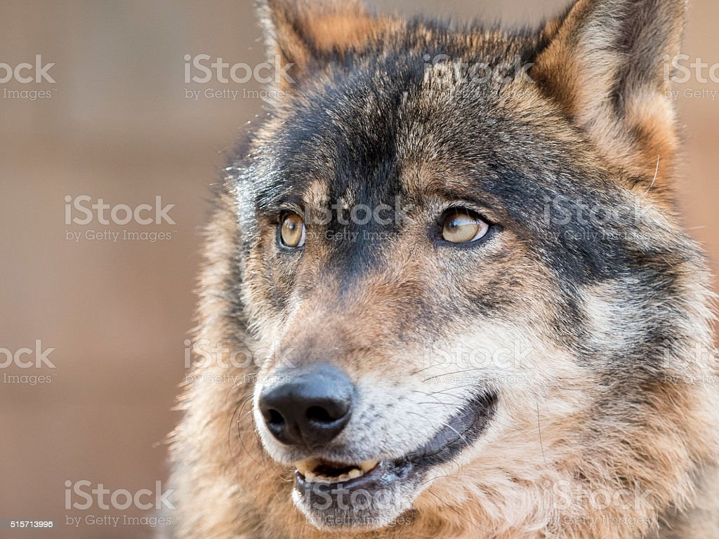 Portrait of a handsome wolf stock photo