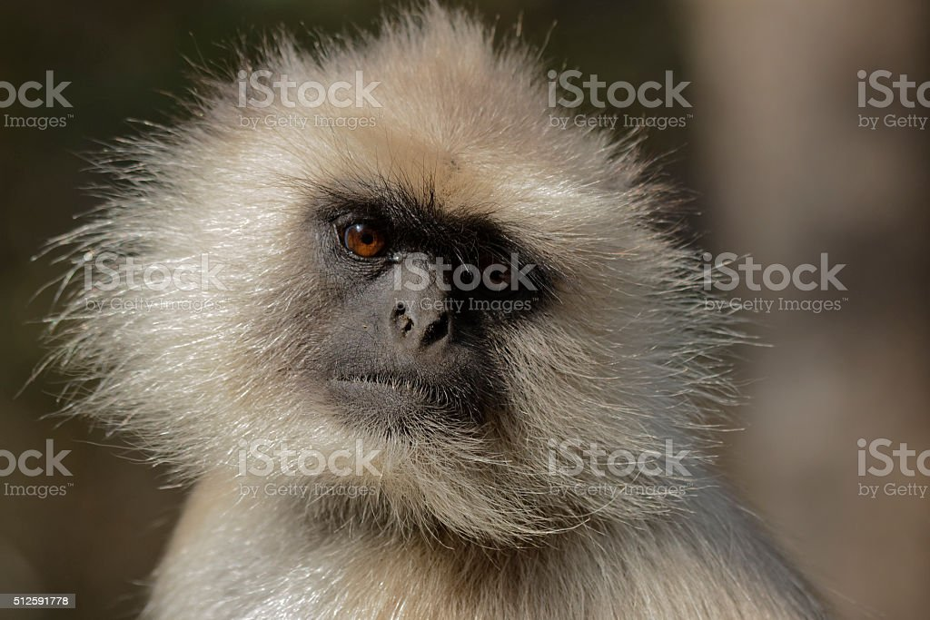 Portrait of a Hanuman Langur stock photo