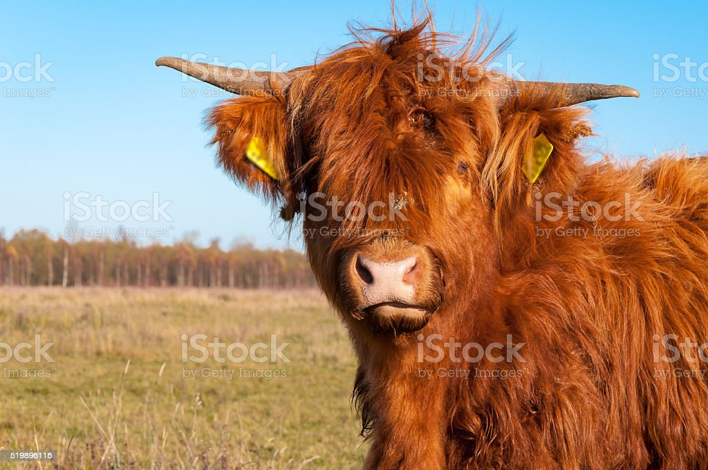 Portrait of a highland cow with long hair stock photo